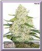 Dutch Passion Auto Think Big Feminised 3 Seeds